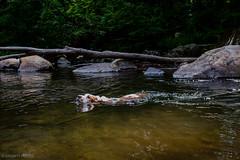7/23/16 Photo 248 (GarrettHerzig) Tags: x100t basset 365project floppydog river swimming bassethound fuji fujix100t water