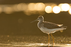 Greater Yellowlegs (Brendan Kelly Wildlife Photography) Tags: