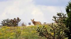 Coyote Visitor (Anna Gurule) Tags: wildlife wildanimals coyote coyotes eldoradoatsantafe eldorado artedgy