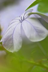 ...Pastel... (fredf34) Tags: pastel plumbago fredf34 fredfu34 fleurs flowers vert green bokeh k3 pentaxk3 pentax nature natur macro proxi