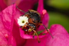 Potter Wasp (Eumeninae, Delta sp) (Anthony Kei C) Tags: potterwasp eumeninae delta