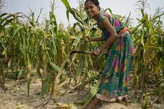 Farmer Bimala Chaudhary harvests her maize in Shankarbasti, Bardiya. (CIMMYT) Tags: nepal csisa cimmyt maize agriculture smallholder farmer mechanization asia