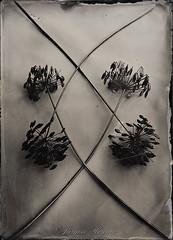-Rombus- (Jürgen Hegner) Tags: kollodium collodion wetplate ambrotype ambrotypie