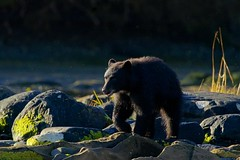 Early morning (rs) (Blingsister) Tags: americanblackbear blackbear bear blackbearinmorninglight blingsister melanieleesonwildlifephotography canon7dmarkii canonef100400mmf4556lisiiusm14xiii northernvancouverisland
