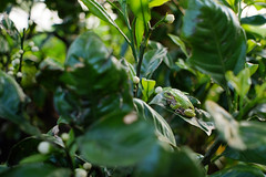 (  / Yorozuna) Tags:       japanesetreefrog treefrog frog  amphibian     green color    shiga  takashima japan pentaxsupertakumar28mmf35