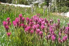 Lemmon's paintbrush (Jeff Goddard 32) Tags: highsierra sierranevadamountains california inyocounty piutepass wildflowers subalpine paintbrush castillejalemmonii castilleja