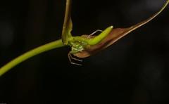 Lehtinelagia (dustaway) Tags: arthropoda nature woodland tullerapark tullera northernrivers nsw australia australianwildlife arachnida araneae araneomorphae thomisidae lehtinelagia crabspider crypsis australianspiders spinne