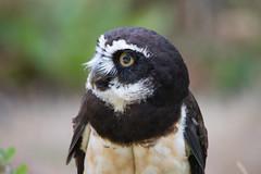 Spectacled Owl (jeff's pixels) Tags: spectacled owl pulsatrixperspicillata bird animal eyes feather close up nikon d750 tamron 150600 nature
