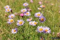 _MG_3344 (antocalv) Tags: prioraparcodeisibillinimontagna fiori flowers nature montisibillini sibillinimounts paesaggiomarchigiano