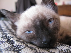 IMG_0493 (fossfor) Tags: kittens cats siamesecat pets sealpoint siamese meezers babycat