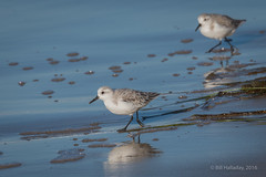 Sanderling (halladaybill) Tags: crystalcove sanderling newportbeach california unitedstates us nationalgeographicwildlife