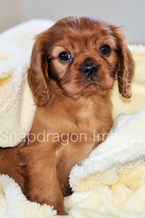 Cute puppy (Snapdragon Lincs) Tags: snuggly worried frightened cuddly tiny pet dog ruby cute puppy spaniel charles king cavalier