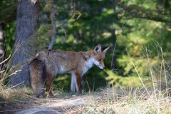 Volpe rossa (ddgp) Tags: rochemolles fox bosco alpi incontro