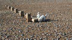 We shall sea Treasure (joc.890) Tags: seashore winchelsea sussex dogs pettlevel groyne