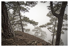 Creeping Silence (memories-in-motion) Tags: wald forest nebel fog rinde bume liefern pine trees mountain natur nature hiking travel lapalma kanaren canaryislands canon landscape photography minimalism ruhe silence balance distagon 21mm zeiss zeissdistagont2821ze canoneos5dmarkiii stones steine