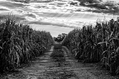 Morning on the Farm (dshoning) Tags: farm path lane crops corn rows iowa country rural september