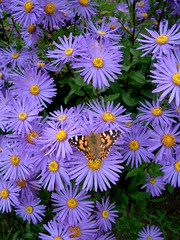 painted lady (briart1) Tags: paintedlady butterfly insect colour nature autumn garden modernartgallery edinburgh scotland