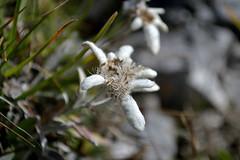Once upon a time... (matteo.buriola) Tags: friuli val sughet cimon di palantina stelle alpine flowers 1855 nikon d3100
