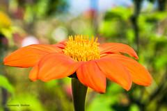 Ah Dahlia (jeanmarie (been working lots of overtime)) Tags: jeanmarieshelton jeanmarie dahlia flower closeup upclose macro orange colors bokeh garden bold