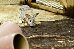 European Rabbit of Ueno Zoo :  (Dakiny) Tags: 2016 autmn september japan tokyo taito ueno outdoor nature park uenopark zoo uenozoo creature animal mammal rabbit europeanrabbit bokeh nikon d7000 sigma apo 70200mm f28 ex hsm apo70200mmf28exhsm sigmaapo70200mmf28exhsm nikonclubit