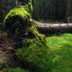 fallen (prajpix) Tags: dead fallen tree noble fir green forest woods highlands scotland decay moss