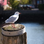 The seagull & the Bee thumbnail