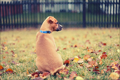 There's a big world out there (i ea sars) Tags: autumn portrait rescue dog baby house cute fall home nature face grass leaves animal yard rural canon fence garden puppy pumpkin happy 50mm back leaf mutt backyard colorful dof bright bokeh shepherd pumpkins young ground pit bull pitbull depthoffield perro terrier hund boxer 5d friday shelter bestfriend adopted adopt pes amstaff petrait shelterpet rescuedog hff canon50mm canonef50mmf14usm  shelterdog rescuepet pejsek canoneos5d pibble  thelittledoglaughed canoneos5dmarkii 5dmarkii 5dii 5dmkii canoneos5dmkii
