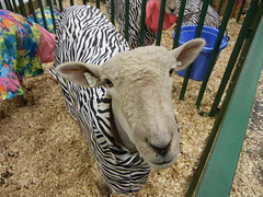 Zebaaaa (Pandora-no-hako) Tags: animal fairgrounds sheep indianapolis indiana 2012 indianastatefair