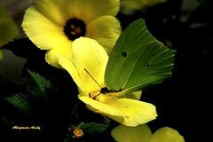 Otro corte/Another crop (Altagracia Aristy) Tags: butterfly amrica dominicanrepublic papillon borboleta tropic caribbean mariposa farfalla antilles laromana caribe repblicadominicana carabe trpico antillas quisqueya anteosmaerula yellowangledsulphur angledsulphur altagraciaaristy fujifilmfinepixhs10 fujihs10 fujifinepixhs10