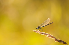 The hunter (Lucky Lucas) Tags: macro grass insect bokeh damselfly eveninglight d300 warmcolors juffer sigma150mm