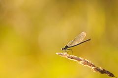 The hunter (Luuk Belgers) Tags: macro grass insect bokeh damselfly eveninglight d300 warmcolors juffer sigma150mm