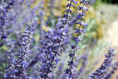 Russian Sage (Lochaven) Tags: new flowers mexico purple taos russiansage