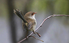 Superb Fairy-wren : Look this way please . . . (Clement Tang ** Busy **) Tags: winter nature female afternoon wildlife australia victoria avian birdwatcher mountdandenong superbfairywren maluruscyaneus closetonature concordians