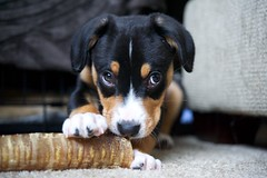Charlie (Thaddz) Tags: dog puppy sennenhund entlebucher entlebuchermountaindog