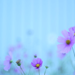 I walk with you in cold water. (Explore) (_kaochan) Tags: flowers square squareformat cosmos  eyefi dmcgf1