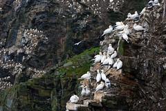 Colonie (Wrinzo) Tags: hermanessnaturalreserve riservanaturaledihermaness unst burrafirth shetlandislands isoleshetland gannet sulabassana morusbassanuslinneaus seabirds uccellimarini scozia scotland europe europa cliffs scogliere atlanticsea oceanoatlantico