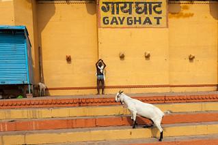 Goats, Varanasi