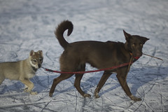 first morning walks (Timoleon Vieta II) Tags: portrait dog ice river wolf little lead thelittledoglaughed timoleon