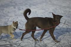 first morning walks (Timoleon Vieta II) Tags: portrait dog ice river wolf little lead thelittledoglaughed timoleon