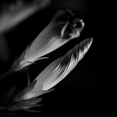Glory (barkingduck99) Tags: morning bw copyright white abstract black flower art nature monochrome lines contrast point soft glow shadows angle bright blossom cone glory stripes fine gray sensual swirl concept striking minimalistic bold glamorous flowersmacro richardkownacki