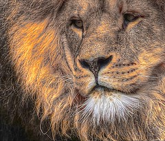 His Majesty (nennapenna) Tags: nature king lion his majesty lejon mygearandme mygearandmepremium rememberthatmomentlevel1