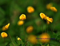 Arachis pintoi (Bhudiarto) Tags: camera morning mountain flower green field grass yellow forest garden leaf nikon day village natural pedestrian land farmer bogor