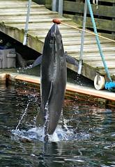 Jump! (Jaedde & Sis) Tags: water harbour porpoise marsvin whake yourockwinner rocking1st pregamewinner