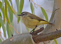 Yellow-rumped Thornbill DSC_2343 (Mary Bomford) Tags: bird australia canberra passeriformes yellowrumpedthornbill acanthizachrysorrhoa acanthizidae