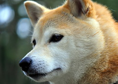 Shiba Portrait (Terje Hheim (thaheim)) Tags: portrait dog pets horizontal outdoors nikon day hund shibainu shiba dogportrait d90 closeup petcollar lookingatcamera extremecloseup 85mmf35gmicrovr focusonforeground nopeople domesticanimals clearsky oneanimal animalthemes