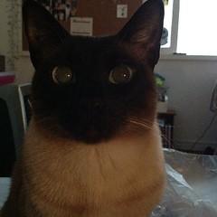 Sweet Kiki. (congalaconga) Tags: cat square eyes chat sweet kitty siamese squareformat gata neko lovely kiki iphoneography instagramapp uploaded:by=instagram