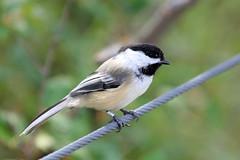 Black Capped Chickadee (K Fletcher) Tags: canada black calgary bird alberta chickadee capped