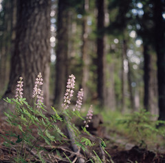 to wander in a lupine forest (after october) Tags: summer green film forest mediumformat evening woods bokeh evergreens wildflowers lookoutmountain lupine hasselblad500cm