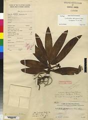 Gastrochilus calceolaris (G philippinense, HT) AMES99524 (filibot.web) Tags: plants asia philippines orchidaceae botany specimens philippinense gastrochilus calceolaris filibot