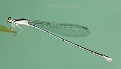 Aroon Kalandy Damsel Fly (aroon_kalandy) Tags: light india macro beautiful photography asia artistic sony kerala concept tamron damselfly clinging calicut kozhikode tamronspaf90mmf28dimacro kenkoet aroonkalandy